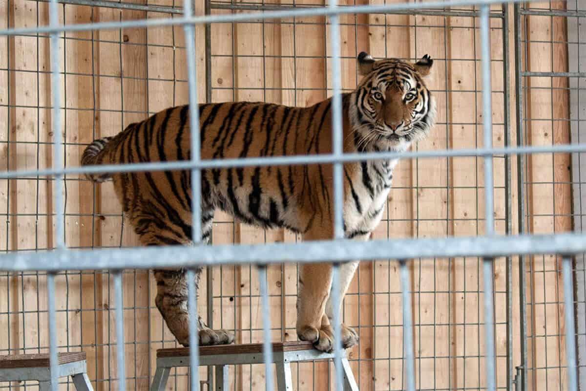 sibirische Tiger im Hunsrück