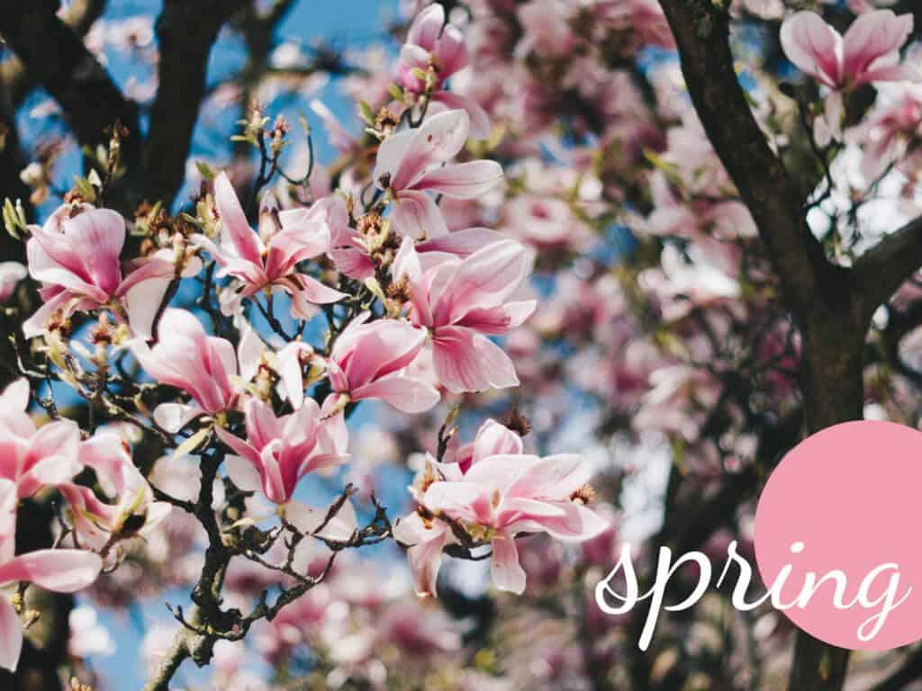 Frühling Magnolienblüten