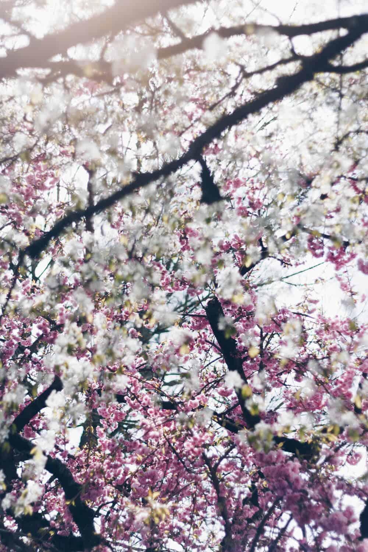 Baum mit rosa Blüten