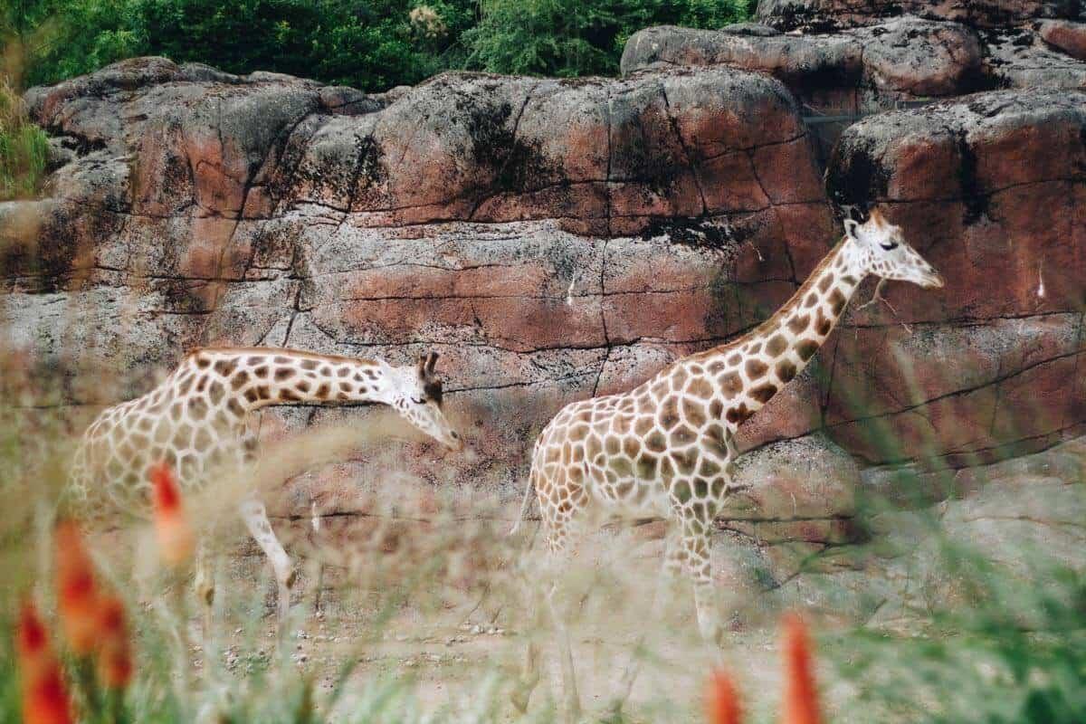 Giraffen im Gaiazoo