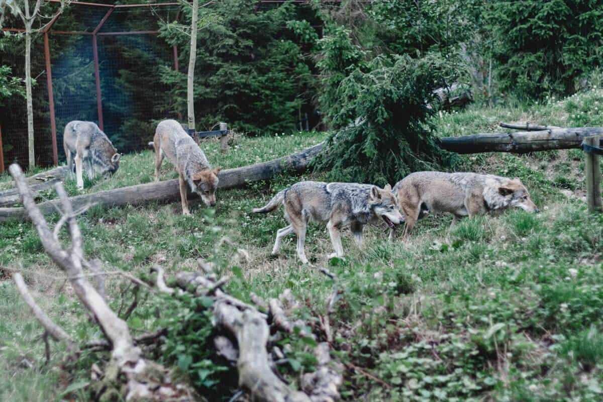 Wölfe im Gaiazoo