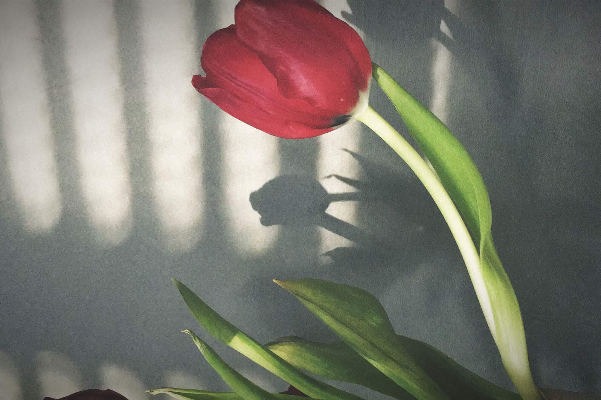 Tulpe auf Betonwand mit Licht